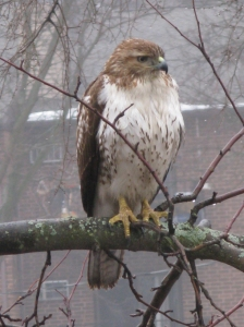 Redtailed hawk in Madison