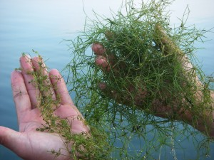 Have you seen the Starry Stonewort?
