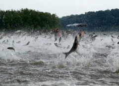 illinois-river-silver-carp-jumping